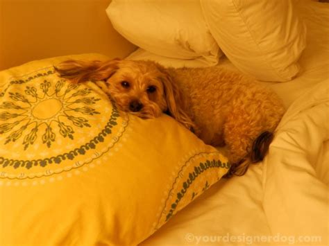 how much are yorkie poos worth top 5 tips for a friendly hotel stay yourdesignerdog