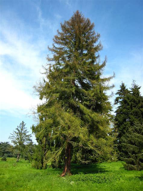 der garten genitiv nadelbaum wiktionary