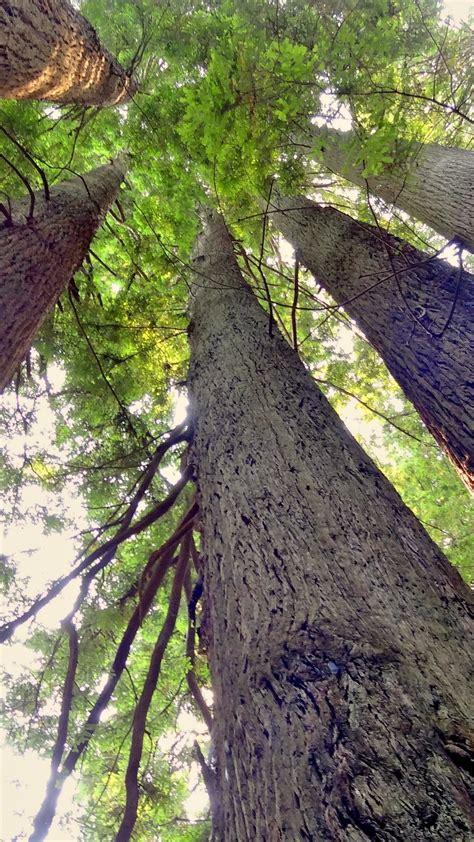 redwood trees wallpaper mobile desktop background