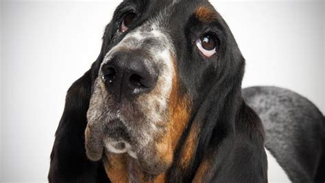 hound dogs breeds basset hound breed selector animal planet