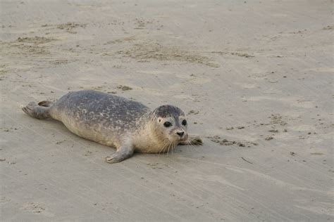 Seehund, Jungtier   Nationalpark Wattenmeer Seehund