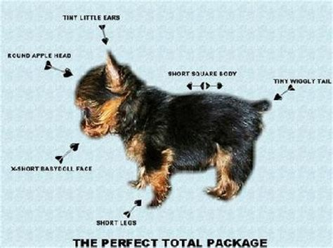 why do yorkies why are yorkies so expensive priceless yorkie puppy