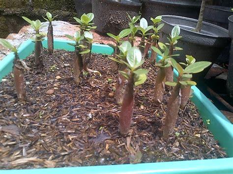 tips perawatan perbanyakan  penyemaian bibit bonsai