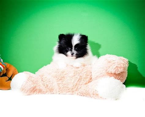 teacup pomeranian puppies for sale in ohio 17 best images about pomeranian puppies on tvs the o jays and ohio