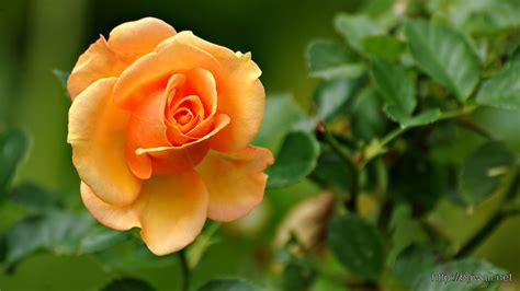 wallpaper flower full size rose flower images full size flower images