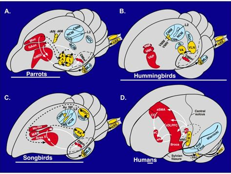 evolution of brain structures for vocal learning erich
