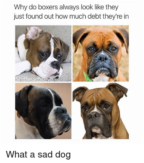 how much are boxer puppies why do boxers always look like they just found out how much debt they re in shithead