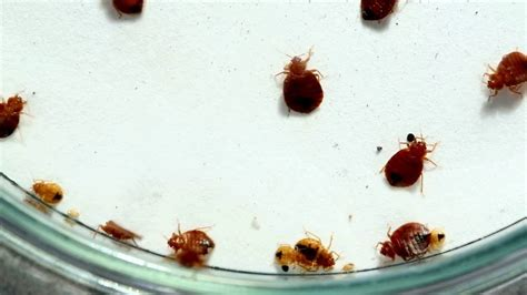 how long does it take for bed bugs to appear bed bug control what do bed bug eggs look like pictures