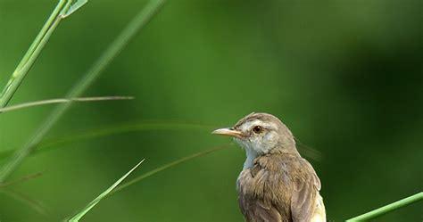 Ternak Cacing Nan ciblek info burung kicauan