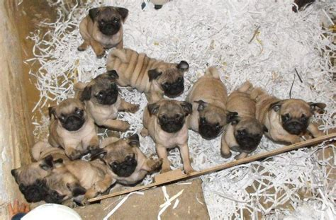 a lot of pugs my heaven pugs and kisses
