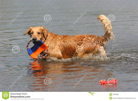 golden retriever in water golden retriever in water stock images image 4291864