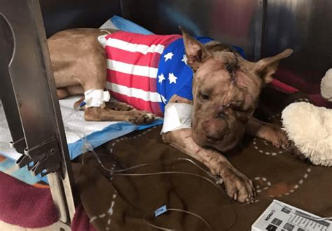 ollie the ollie the pit bull laid to rest in a florida landfill the dogington post