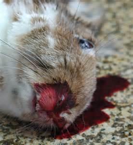 rabbit hemorrhagic disease 171 disease images 171 cfsph