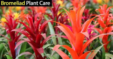 bromeliad plant care   grow  care  bromeliads