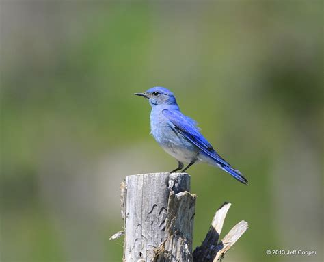 neovista birding have you been challenged by a bluebird