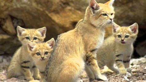 Maxi Cat Sand endangered species the sand cat