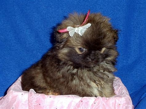 are pomeranians prone to seizures the happy woofer peek a pom delaware breeder puppies for sale