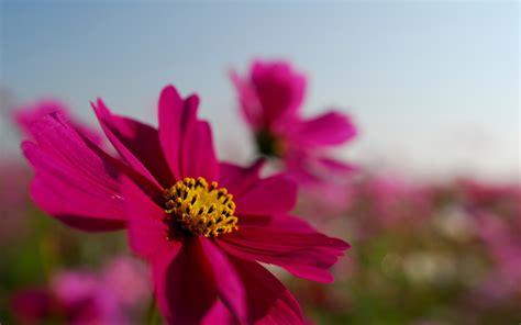 imagenes rosas en hd 10 hermosas fotos de flores im 225 genes de flores en hd