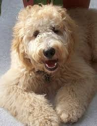 goldendoodle mini a vendre 1000 ideas about f1b goldendoodle on