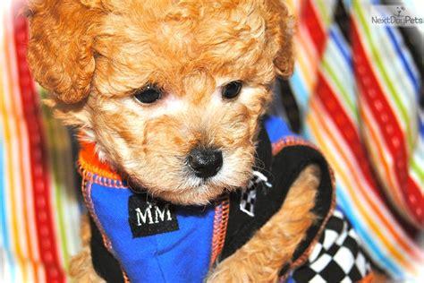 maltipoo puppies for sale in dallas noah malti poo maltipoo puppy for sale near dallas fort worth fec5adb7 7b01