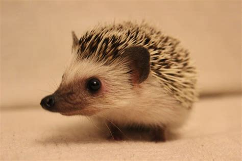 2 african pygmy hedgehogs with complete setup tamworth