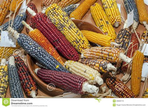 corn colors colored corn cobs stock image image of colourful