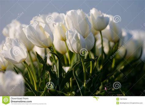 imagenes de lutos blancos tulipanes blancos imagenes de archivo imagen 10070254