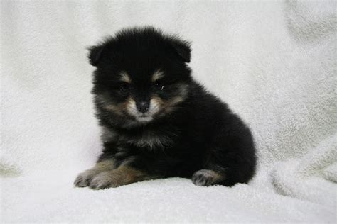 baby black pomeranian 60 baby pomeranians for every minute of your lunch sweet pomeranian