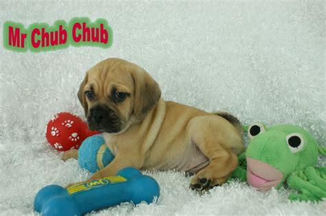 r puppies mr chub chub puggle rockin r puppies