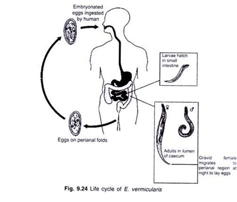 pinworm cycle diagram cycle of enterobius with diagram