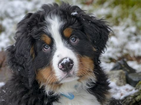 bernese mountain temperament bernese mountain breed information temperament personality platpets