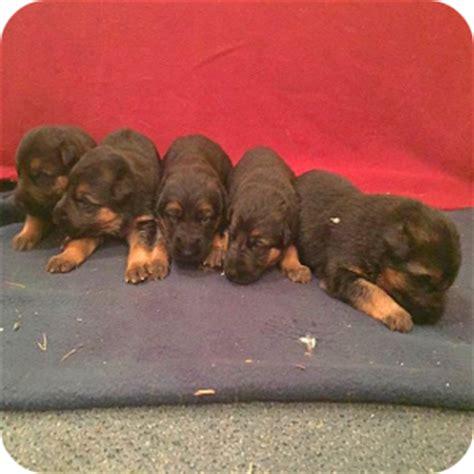 black german shepherd puppies for sale in nc and black german shepherd puppies for sale in nc