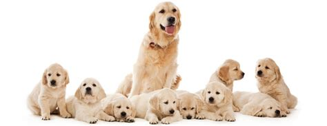 puppy pregnancy how are dogs s pregnancy by week enkivillage