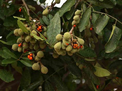 Flora of Mozambique: Species information: individual ...