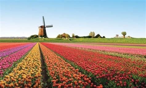 bulbi di tulipano in vaso tulipani immagini bulbi caratteristiche dei tulipani