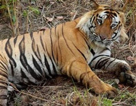 facts about the new year tiger animals pets animals
