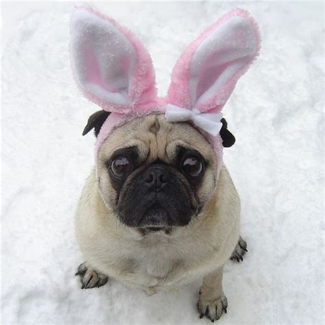 happy easter pug pug bunny happy easter pugbunny pugbunnies pugeaster easterpug happyeaster