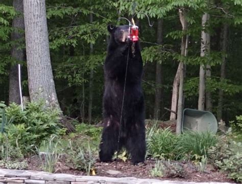 bear in backyard new milford resident spots black bear in yard newstimes