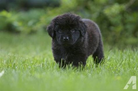 newfoundland puppies nj akc newfoundland puppies for sale in waretown new jersey classified americanlisted