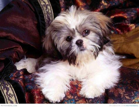 tri color shih tzu pictures petyourdog pet your tricolored shih tzu sitting in a brown