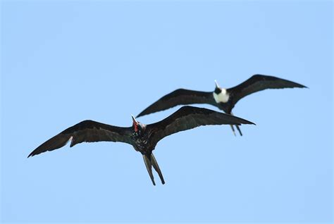 Magnificent Frigatebirds - Determining Age and Sex by Alex ...