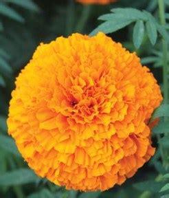 Seledri 125 Benih marigold rona benih pertiwi