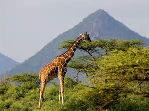 le nombre de girafes a chut 233 de 40 ces trente derni 232 res