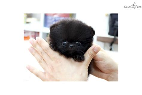 black micro teacup pomeranian teacup pomeranian hd cat animal