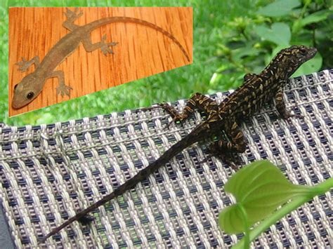 how to get rid of lizard in my room how to get rid of lizards like brown or green anoles
