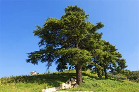 Cedar L by Lebanon Cedar Information Tips On Growing Cedar Of