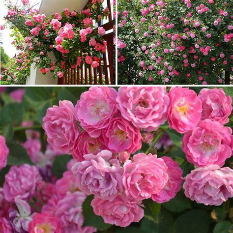 100 seeds climbing rose seeds plants spend climbing roses new 100pcs rose red climbing rose seeds perennial flower