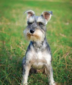 asian style schaunzer hair trim asian style schnauzers and style on pinterest