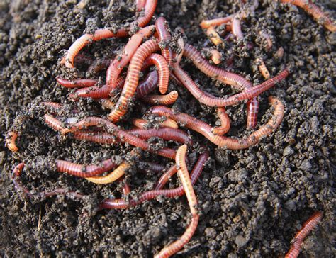 best compost worms what worm farm is best for you permaculture