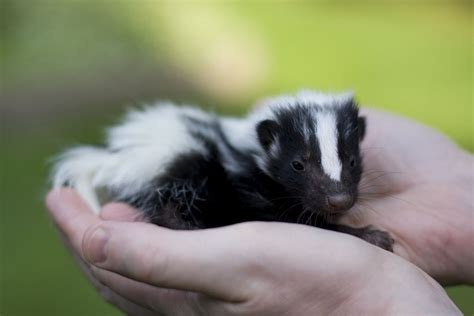 pet skunk by bazutti animal friends pinterest